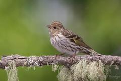 Pine Siskin (Turk Images) Tags: backyard carduelispinus perchingbirds pinesiskin alberta birds edmonton fringillidae pisi spring