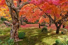 Kyoto Enko-ji 7929 (kbaranowski) Tags: 2016krzysztofbaranowski krzysztofbaranowski nihon nippon autumn maple japanesemaple fallfoliage colorful nature beautyinnature garden japanesegarden kyoto zen zengarden