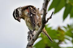 Juvnile  --- Cardinal a poitrine rose ---  Rose-breasted grosbeak -- Picogrueso pechirrosa (Jacques Sauv) Tags: oiseau bird ave cardinal poitrine rose rosebreasted grosbeak picogrueso pechirrosa juvnile