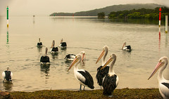 Natural-habitat_DSC5660 (Mel Gray) Tags: swansea pelicans birds lakemacquarie newsouthwales water lake