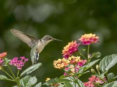Hummingbird visit... (KvonK) Tags: inflight female summer july 2016 kvonk hummingbird lantana sunny nikond500 nikon200to500mm f8 11600sec iso1250