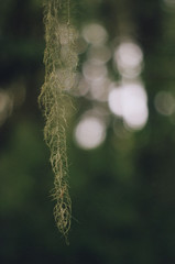 Usnea 1, William L. Finley National Wildlife Refuge 2016 (Sara J. Lynch) Tags: sara j lynch lichen usnea william l finley national wildlife refuge corvallis oregon willamette valley