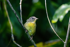 Common Yellowthroat, immature (vickie_s) Tags: crescentlake