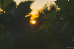 Leaf of grapes (Jesper Reiche) Tags: sunset leaf sun moody nature d7100 1685 nikon1685 green wine grapes silhouette silhouettes wanderlust sunsets