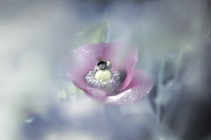 Slowly melting (landsendula) Tags: pinkpoppies beeasleep borage blur coolpastelpinkblue shine morningmist dewdrops icecreamday sunshineandshowers nikond300 900mmf28 bokehss janeweir