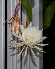 Cereus_2649 (samfeinstein) Tags: nikon d750 85 flower cereus nightbloomingcereus nightblooming ocf offcameraflash cls