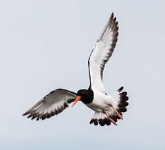 Oystercatcher (Scriblerus) Tags: oystercatcher bird aquaticbird haematopodidae wader scotland skye