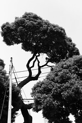 Yanaka Cemetery, Tokyo (fabiolug) Tags: tree trees nature trunk yanakacemetery yanaka tokyo japan japanese asia leicammonochrom mmonochrom monochrom leicamonochrom leica leicam rangefinder blackandwhite blackwhite bw monochrome biancoenero 35mmsummicronasph 35mmf2summicronasph summicronm35mmf2asph summicron35mmf2asph 35mm summicron leicasummicron leica35mm