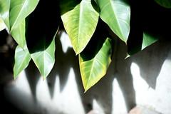 Graring light (Yuta Ohashi LTX) Tags: greenhouse    leaf leaves botanicalgarden      contrast plant nikonainikkor50mmf14 f14 50mm oldlens
