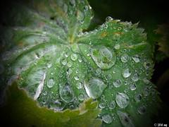 Frauenmantel mit Perlen (MacroManni) Tags: regen rain wasser water regentropfen raindrops blatt leaf frauenmantel ladysmantle makro macro