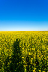 Canola shadow selfie (pbruch) Tags: calgary prairies grain canola growing seaon flowers flowering rape seed dirt road endless horizons