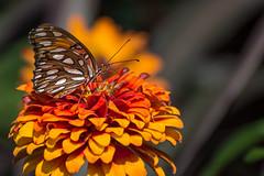 Gulf fritillary butterfly ( David Gunter) Tags: gulf fritillary butterfly zinnia flower closeup macro nature natural