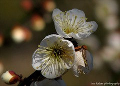 All we have, it seems to me, is the beauty of art.... (itucker, thanks for 2.7+ million views!) Tags: prunusmume macro bokeh apricot blossom apricotblossom raulstonarboretum