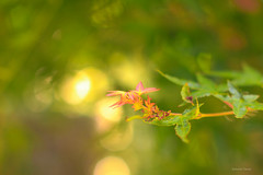 Summer of autumn tip    (^^Teraon) Tags: japan nara    shinyakusiji canon eos m2 eosm2 buddhism    kegon temple templo  summer vero verano   landscapes scenery landscape bonsai garden jardim jardn green nature bokeh autumnalleaves  sigma50mmf14exdg