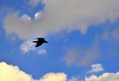 A Raven Flying Over Me (Grand Teton National Park) (thor_mark ) Tags: bird birdinflight blueskieswithclouds capturenx2edited colorefexpro day3 grandtetonnationalpark inflight lookingup lookingupatsky lookinguptosky nature nikond800e project365 raven taggartlaketrailhead moose wyoming unitedstates