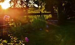 ~~Derniers rayons...~~ (Jolisa) Tags: soir evening rayons rais soleil sunset coucherdesoleil atardecer fleurs flowers jardin garden aot2016 lumire light
