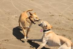 IMG_9495 (OryGonian) Tags: ocean 2016 july beach manzanita ripken sophie dogs action