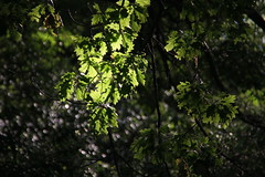 Leafs in early morning light,        IMG_8633 2 (Is-Be -Thank You for over 2,200.000 views.) Tags: highparktorontocanada early leafs toronto canada 2016 summer sun green greenleafs shadows exposure apple isbe flickr