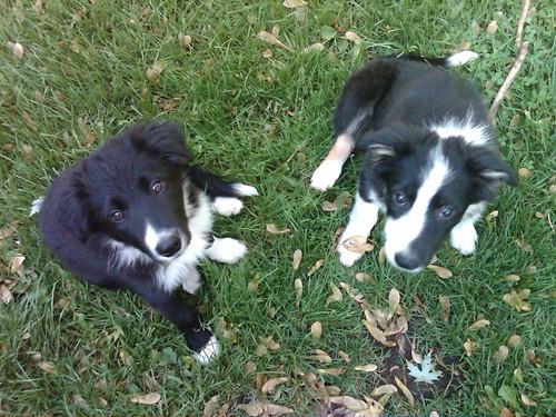 Shaina & Tipper puppies