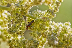 Longicorne (hofber) Tags: macro insecte colorefex longicorne viveza coleoptere