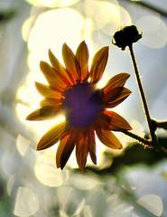 Flower In The Sun (vgphotoz) Tags: sunlight flower nature sunshine nikon nikkor exoticimage marculescueugendreamsoflightportal vgphotoz
