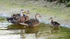Duckling (Jim Mullhaupt) Tags: wallpaper lake bird nature water landscape duck pond lowlight nikon flickr florida background wildlife duckling p900 swamp coolpix mallard hen bradenton iso1600 mallardduck mullhaupt nikoncoolpixp900 coolpixp900 nikonp900 jimmullhaupt