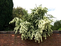 Old Swan House (HerryLawford) Tags: june garden cotoneaster oldswanhouse