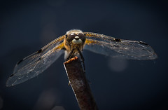 Four spotted chaser close (Mike Ashton) Tags: nature fauna insect countryside shropshire invertebrate mosses whixall