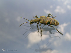 Schwarzgefleckter Zangenbock     Rhagium mordax (gerhard.wolff2016) Tags: schleswigholstein de deutschland rhagium mordax käfer insekt insect insekten schwarzgefleckterzangenbock blackspottedplierssupportbeetle kosel
