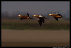 Beauty of The Nature (asifsherazi) Tags: pakistan bird bif sialkot ruddyshelduck concordians asifsherazi