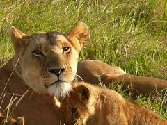 Mum and Baby ! (Mara 1) Tags: africa wild green face grass cub eyes kenya wildlife lion mother ears mara masai