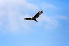 _5D36409 (dendrimermeister) Tags: vulture bird avian animal fauna flight soar