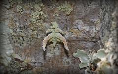lichen mimicking geometrid: Anisozyga sp. caterpillar? (dustaway) Tags: arthropoda crabbescreek northernrivers nsw nature australia geometridae caterpillar anisozyga lichenmimic concealment crypsis camouflage mimickry