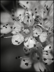 Messy Blooms Fading - BW (Firery Broome) Tags: flowers blooms tiny little shrubbery petals stamen flowercenters cellphone phonephoto iphone iphone5s externallens olloclip macro closeup dof bokeh ipad ipaddarkroom apps snapseed fotograf blackandwhite blackwhite bw monochrome nature naturelovers artofnature earthnature iphonenature iphoneography phoneography newark delaware universityofdelaware delawarenature monochromemonday summer 365