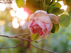 Rosy Moment (mintukka) Tags: pink flowers light roses summer flower rose garden bokeh eveninglight pinkrose