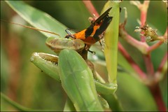 Breakfast Is Served (muledriver) Tags: mantis prayingmantis insects macro nature