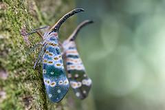 Lantern Fly (RoosterMan64) Tags: macro moth vietnam ninhbinh pyropscandelaria lanternfly cucphuongnationalpark