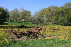 ckuchem-1272 (christine_kuchem) Tags: streuobstwiesenweg streuobstwiese streuobst wiese obstbaum frhling frhjahr blte bltezeit obstbume