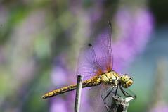 Libelle (gelein.zaamslag) Tags: holland nederland netherlands zeeland zeeuwsvlaanderen zaamslag natuur nature fauna macro insect insects libelle dragonfly dragonflies geleinjansen