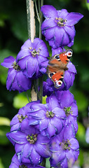 Peacock Butterfly on Delphiniums 052b (174) (Baffledmostly) Tags: peacockbutterfly angleseaabbey ntehproperties nationaltrust butterfly delphinium flowers insects