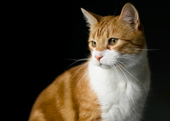 Handsome (Fallen Archer) Tags: cat pets canonef50mmf14usm canoneos40d