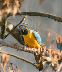 HelsinkiZoo_2016_DSC_4144-2 (rsarpal) Tags: bird animal zoo nikon outdoor sigma parrot 18200mm d3300