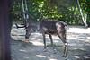 2016 北海道D6 4x6 3194 (chaochun777) Tags: 北海道 旭山 動物園 露營 自由行 猴子 長臂猿 猩猩 雲豹 花豹 老虎 獅子 北極熊 企鵝