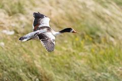 Juvenile Shelduck In Flight (Unintended_Keith) Tags: shelduck birdinflight bird duck nature wildlife canon1dx sigma150600mms paghamharbour naturereserve westsussex juvenile