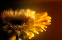 warm glow (Morag.) Tags: flower indoor fleur flore petal gold glow warm nikon d3300 nikkor digital blur soft colour color