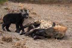 Hyena family (crafty1tutu (Ann)) Tags: travel holiday southafrica africa 2016 animal hyena family pup motherandbaby crafty1tutu canon7dmkii anncameron wild inthewild roamingfree motswariprivategamereserve mammal naturethroughthelens