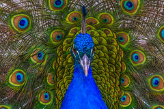 Peacock (satochappy) Tags: peacock auburnbotanicgardens garden sydney nsw australia colourful