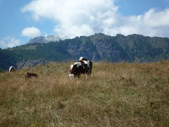 Cows in Chamois (SoniaM (Italian teacher)) Tags: italia italy valledaosta valdaosta chamois montagna montagne mountain mountains natura nature landscape animal animals