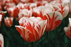 000025 (seustace2003) Tags: keukenhof nederland niederlande holland pays bas paesi bassi an sitr tulip tulp tulipan tiilip tulipa