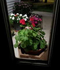 Day 221:  putting the flowers to bed (Mark.Swanson) Tags: flowers geranium vinca cleome